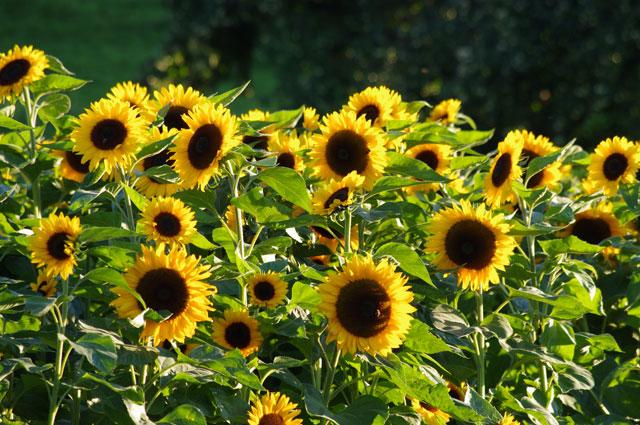 Sonnenblumen pollenfrei